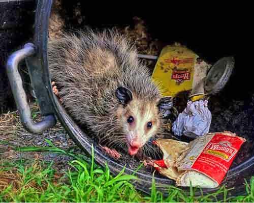 t_opossum_in_trash.jpg